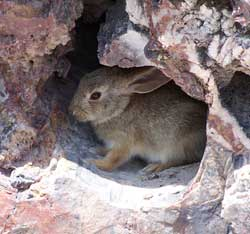 cottontail in petrified wood hollow