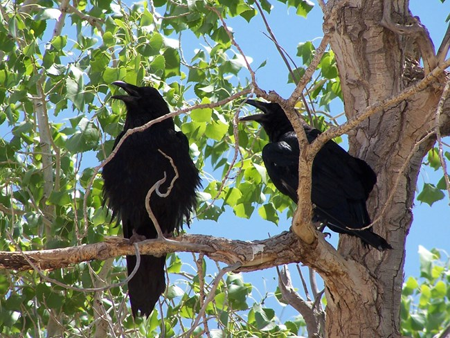 Common Raven in Cottonwood Tree