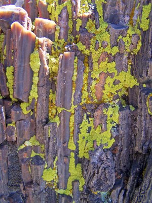 Green lichen on petrified wood.