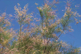 feathery leaves and flowers of tamarisk plant against a blue sky background
