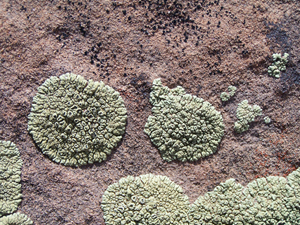 Light green and black lichen