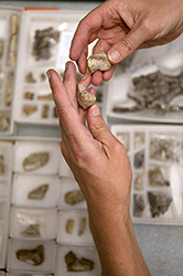 hands hold fossil pieces above trays with more fossil pieces