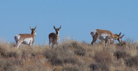 pronghorn grazing
