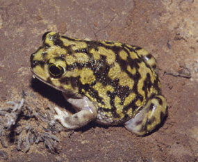 immature, colorful toad