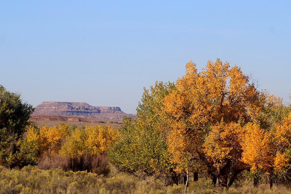 Puerco and Mesa Fall Cottonwoods