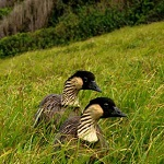 Two Hawaiian geese, also called nene, sit on a hillside near the ocean.