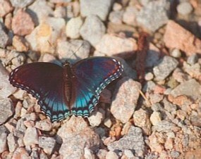 Red Spotted Purple Butterfly at Five Forks