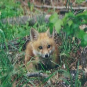 Young Red Fox in Petersburg