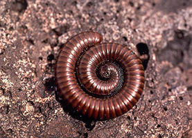 Coiled millipede on a rock