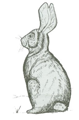 Black ink drawing of a Desert Cottontail Rabbit.