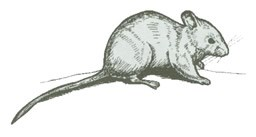 Black ink drawing of a Deer Mouse.