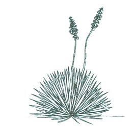 Ink drawing of Soapweed Yucca.