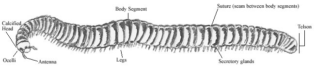 Pencil sketch of a Desert Millipede (Orthoporus ornatus).