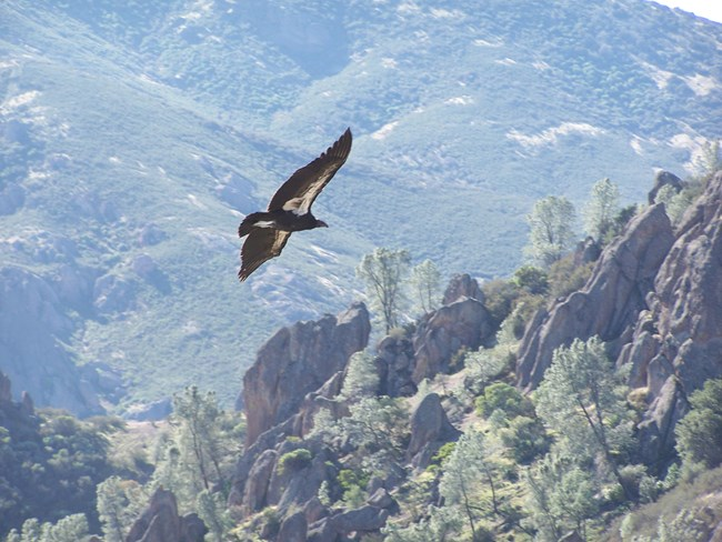 California condor over the High Peaks