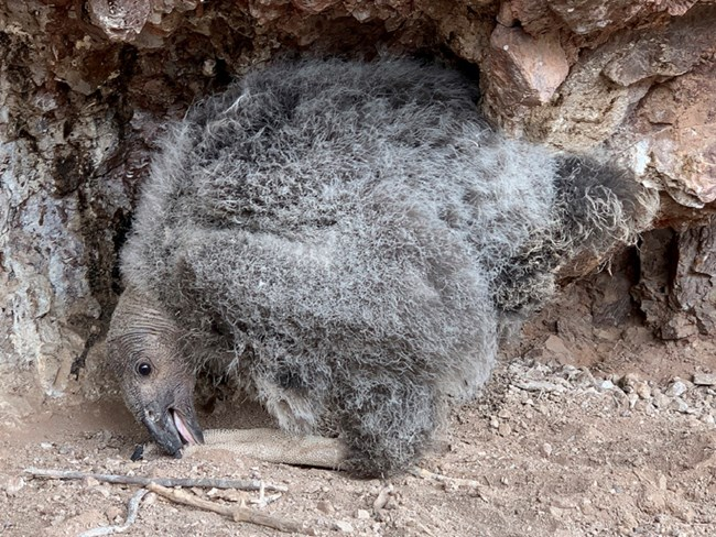 Condor 1027 in the nest at 45 days old.