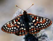 Edith's checkerspot butterfly.