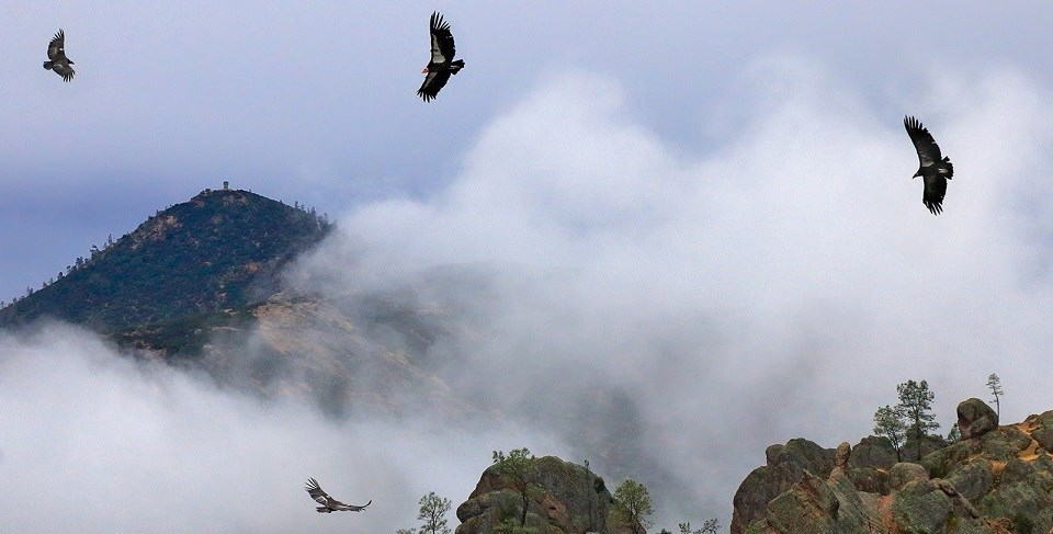 Condors flying in the mist.