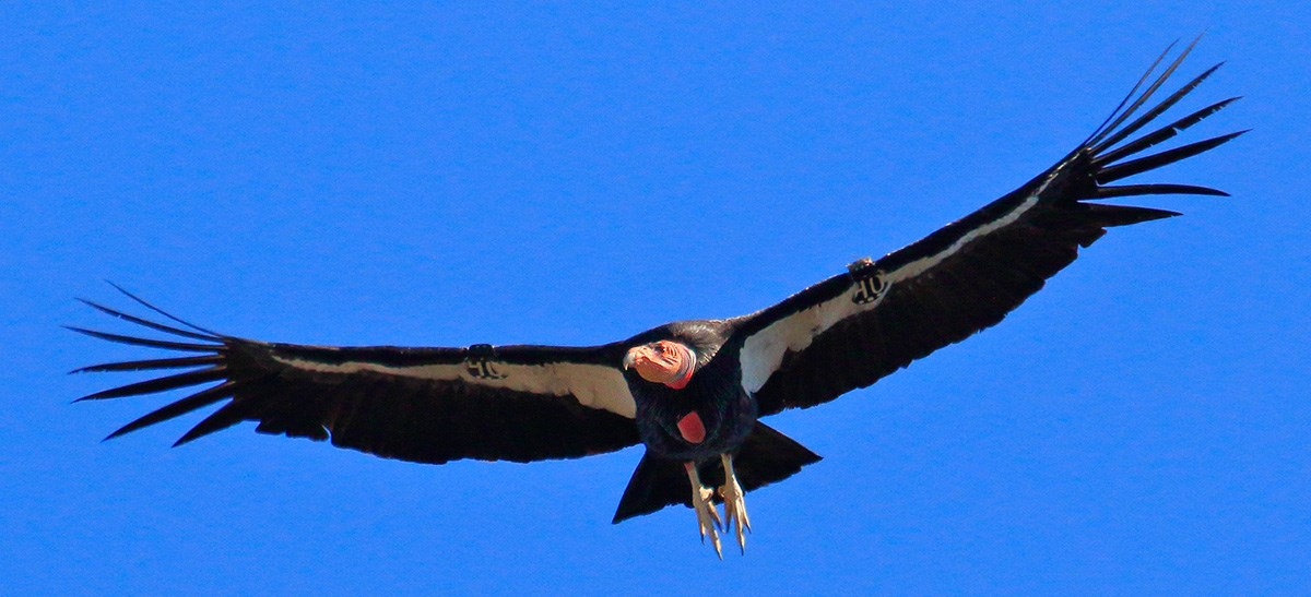 an introduction to the history of the california condor Introduction the observational record of california condors  studying  variation in the historical california condor.