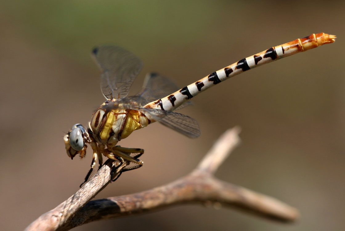 White Belted Ringtail Dragonfly