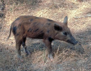 A young feral pig.