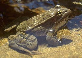 Photo of a California red-legged frog in Chalone Creek, Pinnacles National Monument.