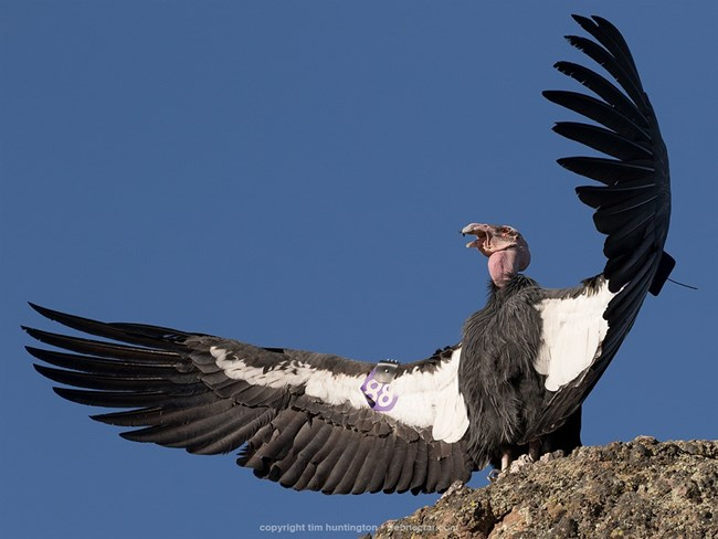 Condor 688 sunning his wings.
