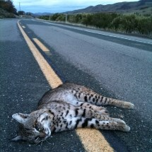 Roadkill bobcat