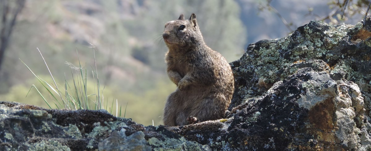 A ground squirrel sits on a lichen-covered rock