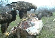 Two golden eagles on a large mammal carcass