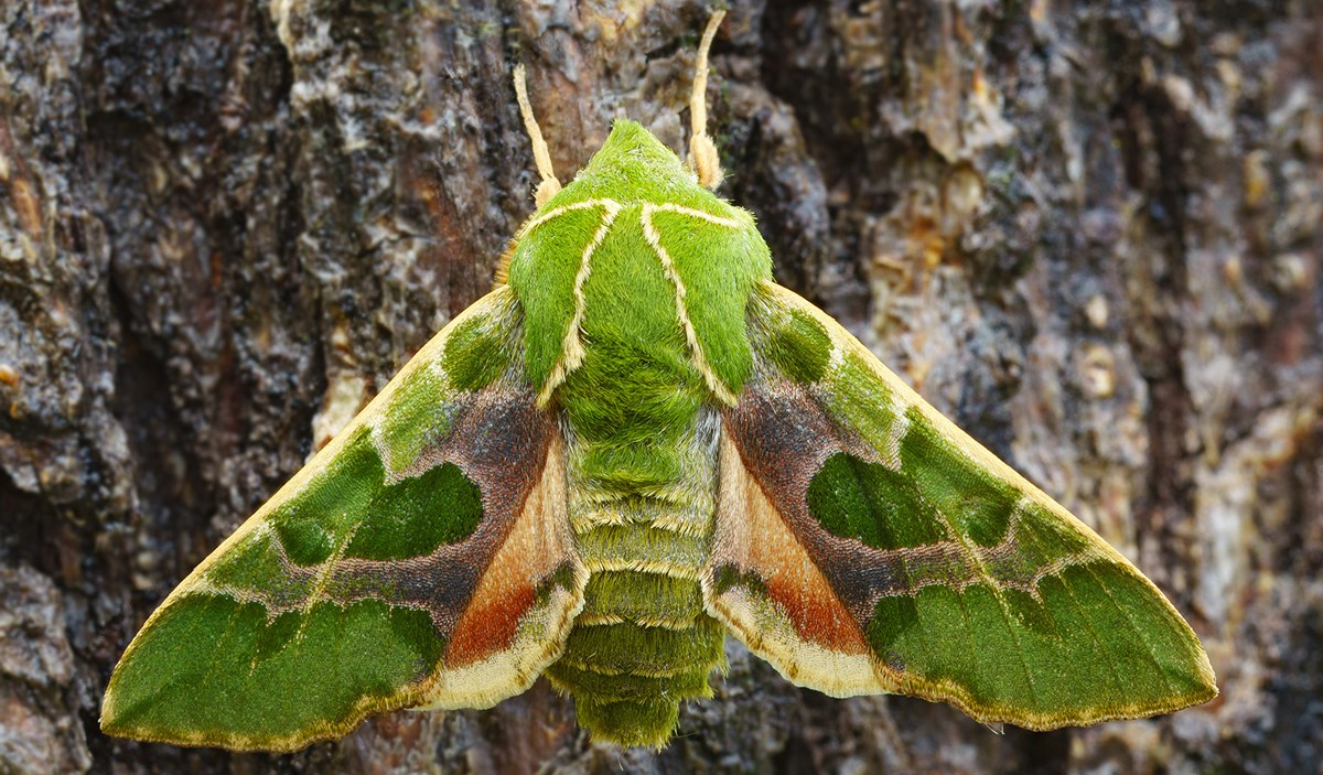 [Pilt: Green-Sphinx-Moth-1.jpg?maxwidth=1200&am...tate=false]