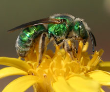 Metallic sweat bee