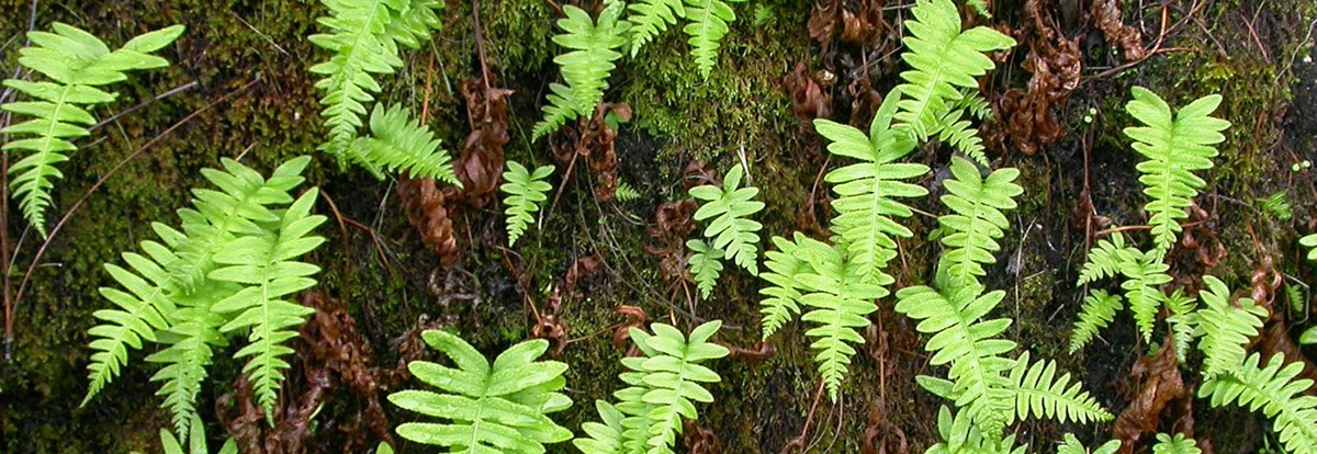 California polypody ferns in a mossy, moist environment.