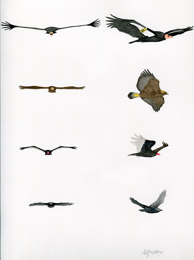 Comparison of different birds in flight.