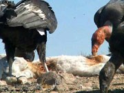 California condors feed on a carcass.