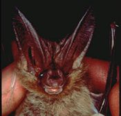 Townsend's Big-eared Bats have large ears that they roll up when hibernating.