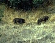 Two feral pigs root for acorns