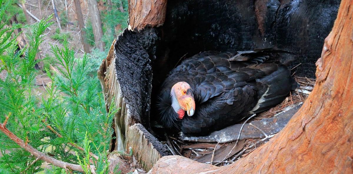 California Condor Facts Pinnacles National Park U S