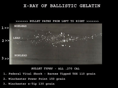X-ray of ballistic gel showing white fragments along the lead bullet path, while the non-lead bullet path is clear