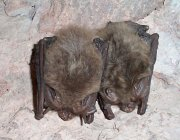 Townsend's big-eared bats in the Bear Gulch Cave