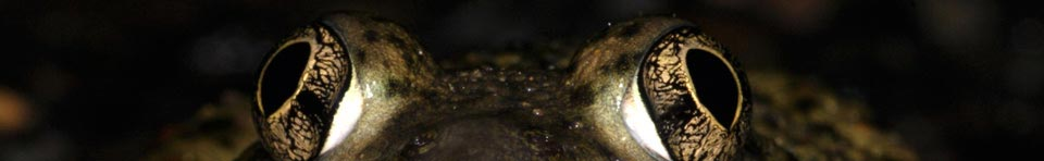 A spadefoot toad looking straight at the viewer, only his eyes are visible. Photo by Paul Johnson