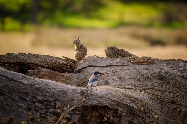 Scrub Jay and Squirrel
