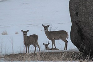 White-Tailed Deer at Three Maidens