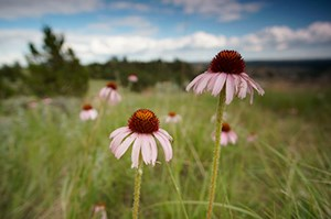 Narrow-leaved Purple Coneflowers in a field
