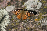 Painted Lady Butterfly on Lichen-covered Quartzite