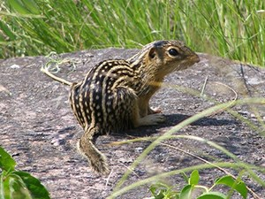 Thirteen-Lined Ground Squirrel sitting on a rock