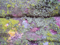 Lichen growth on quartzite rock