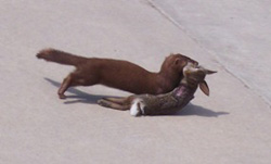 Mink finds a rabbit for a meal