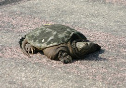 Snapping turtle crossing the road