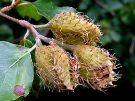 The loss of beech trees to BBD will affect many animal that depend on nutritious beechnuts for food