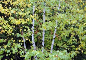 Birch trees begin their change to autumn yellow.